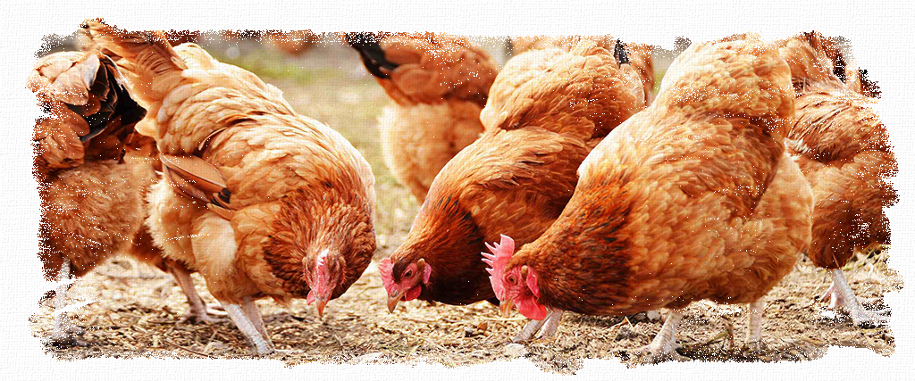 Birds_Header, chickens, hens, poultry, pigeons, ducks, chicks, food, feed, supplements