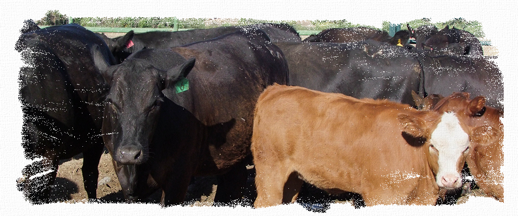 Livestock_Header, livestock, cattle, cows, bulls, calves, llamas, alpacas, goats, sheep, lambs, food, feed, supplements