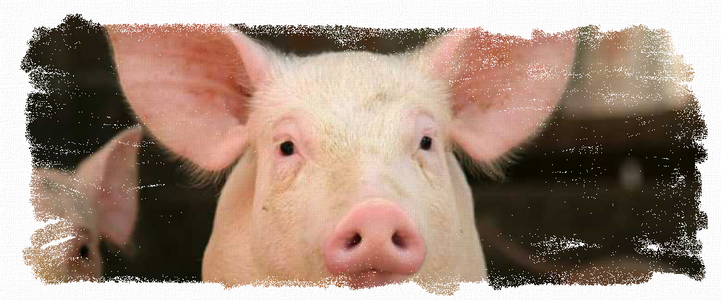 Pigs_Header, pigs, hogs, projects, 4-h, show, feeder, feed, supplements